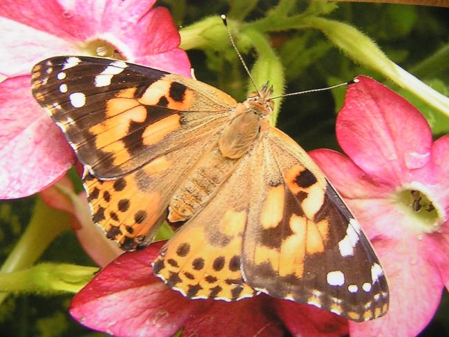 Squadrons of butterflies spotted on holiday