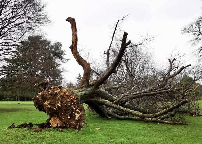 The tree in Cheam Park. Picture: Avalon Legal