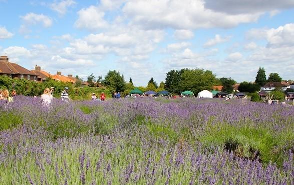 Pick your own lavender event takes place this weekend