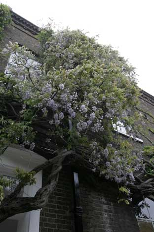 Threatened: The UK's oldest wisteria at Fuller's brewery, Chiswick
