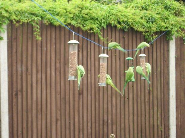 Flapping hell: About 20 parakeets flock to Dereck Akehurst garden in Mitcham every morning