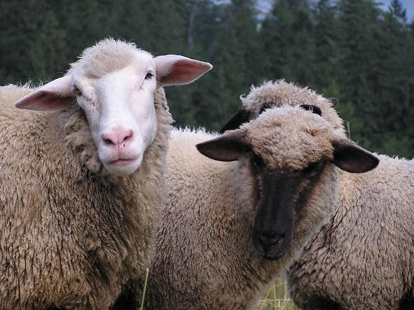 Kingston school denies political correctness claim over 'Baa baa little sheep' lyrics