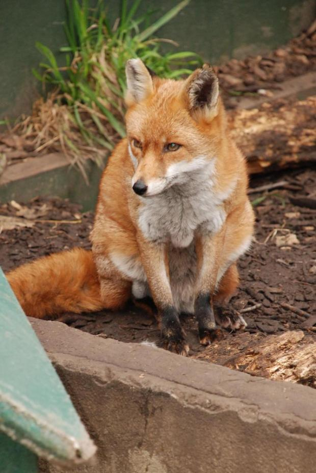 Man jailed after putting dead fox on ex-lover's doorstep