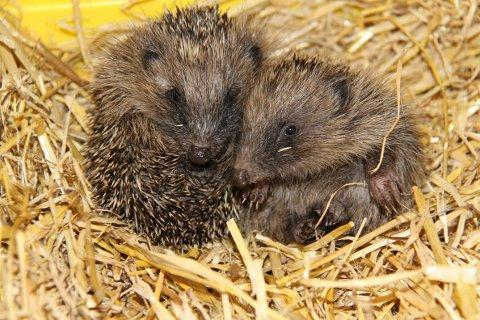 Hedgehog population hit by deadly parasite worm