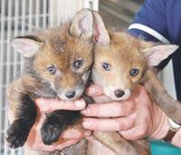 Rescued: These two fox cubs (left) were under the care of the hospital manager, Lyn Vaughan