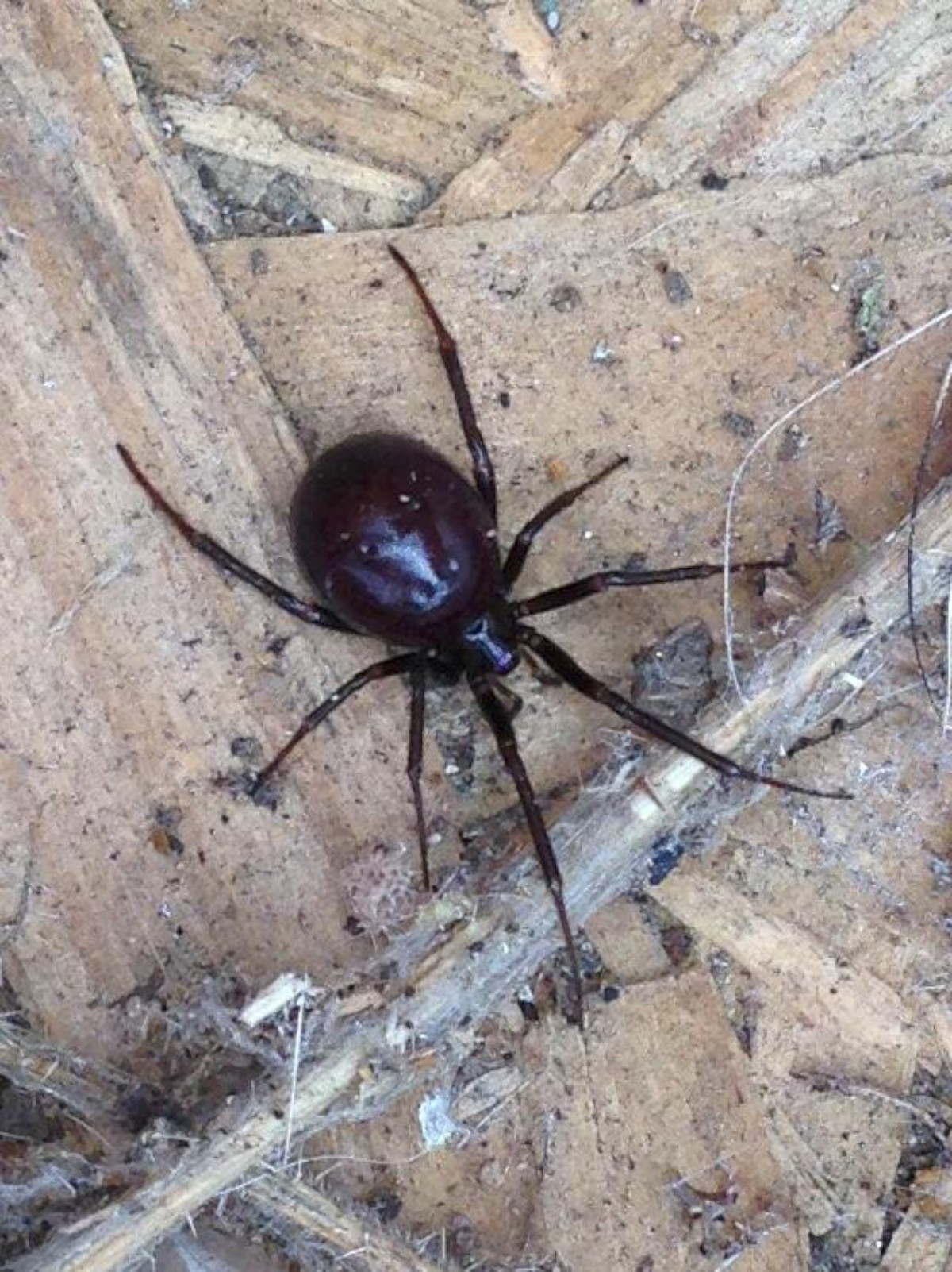 Pictures Can You Spot The Real False Widow Spider Your Local Guardian