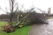 Trees were felled across Epsom including this one in Ewell in last December's storms