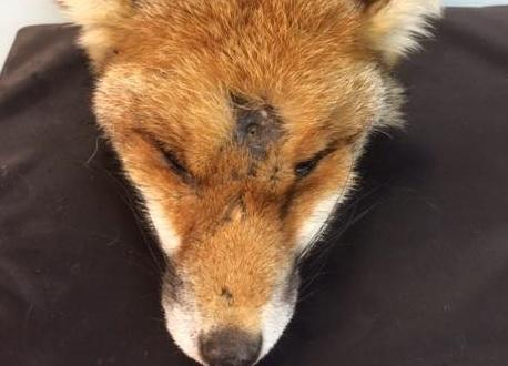 The fox was found shot in West Way, Carshalton Beeches