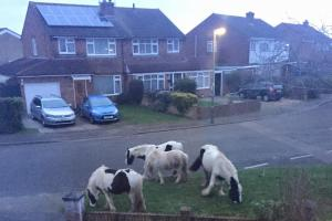 Walton woman wakes up to find runaway horses in her front garden - for the second time