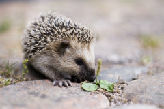 Family Activity: Mrs. Tiggywinkle