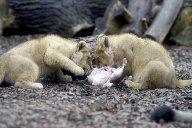 Feed a baby lion with your Christmas leftovers