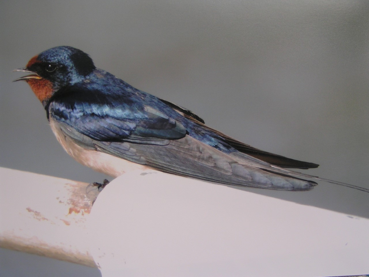 Britain's blue bird, the swallow