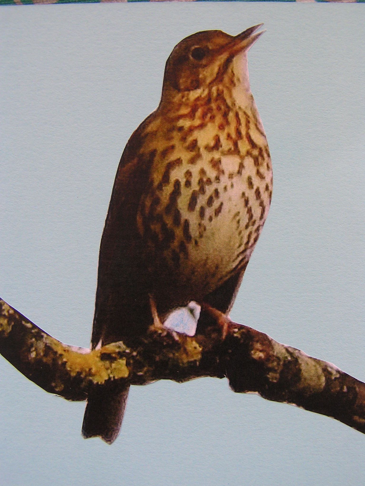 Delight in watching my favorite avian songsters - the songthrush