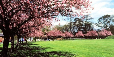 Cherry Trees have lined the avenue since 1946.