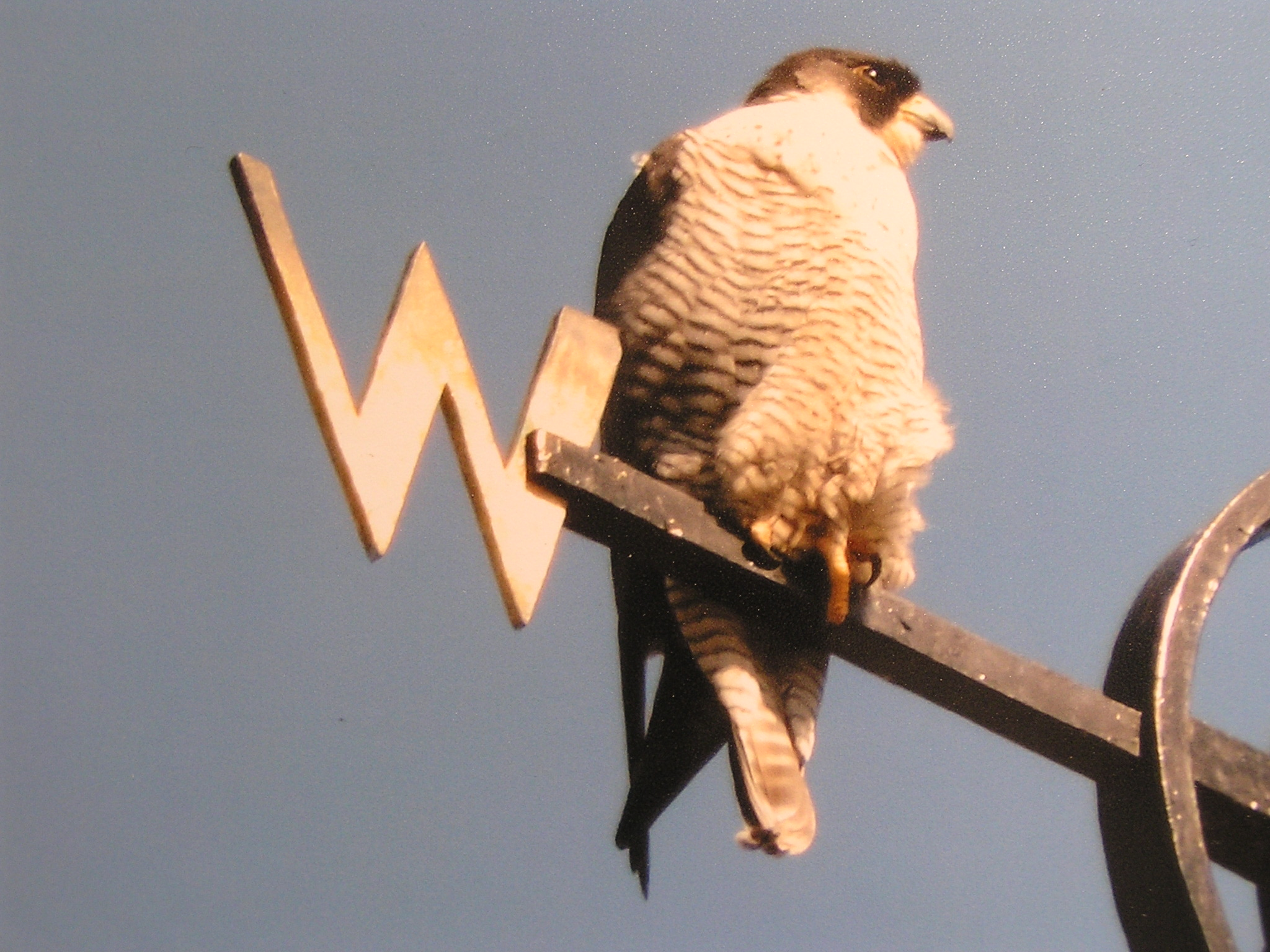 Peregrine falcons are nesting at sites in Morden, Sutton and Kingston