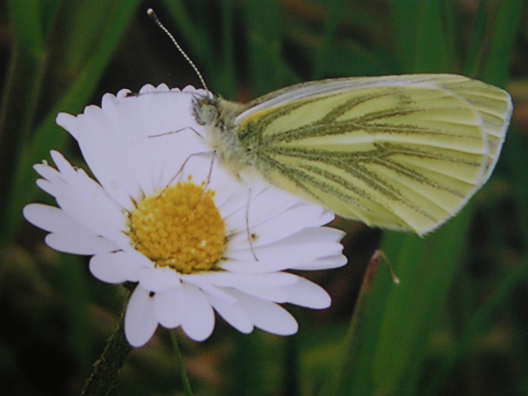Widespread use of pesticides hitting our butterfly species
