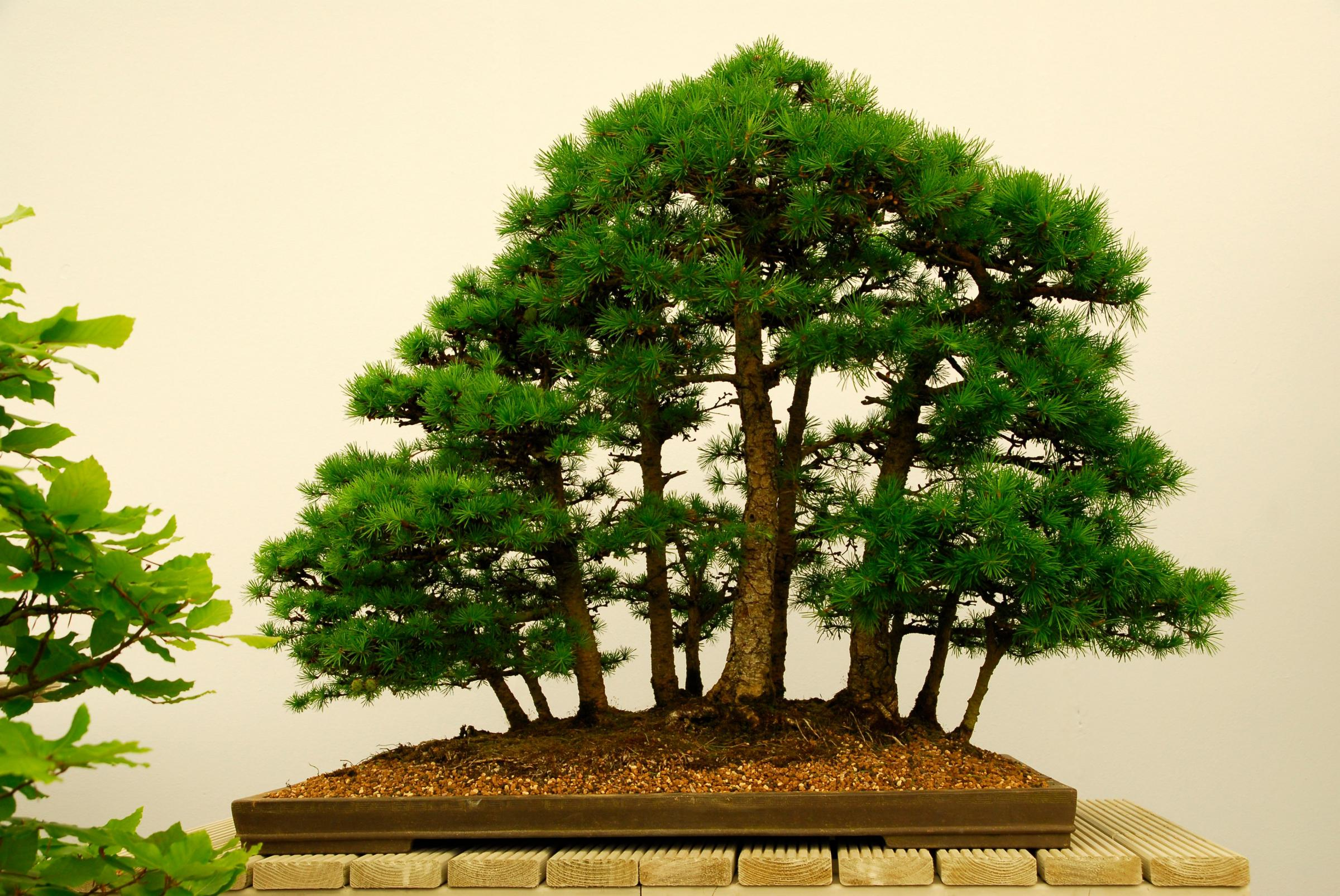 Bonsai Society Show