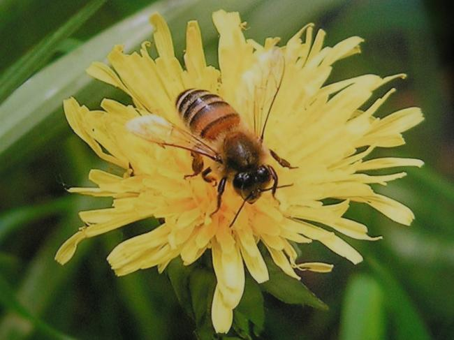 Dandelions are an important source of nectar for our insects