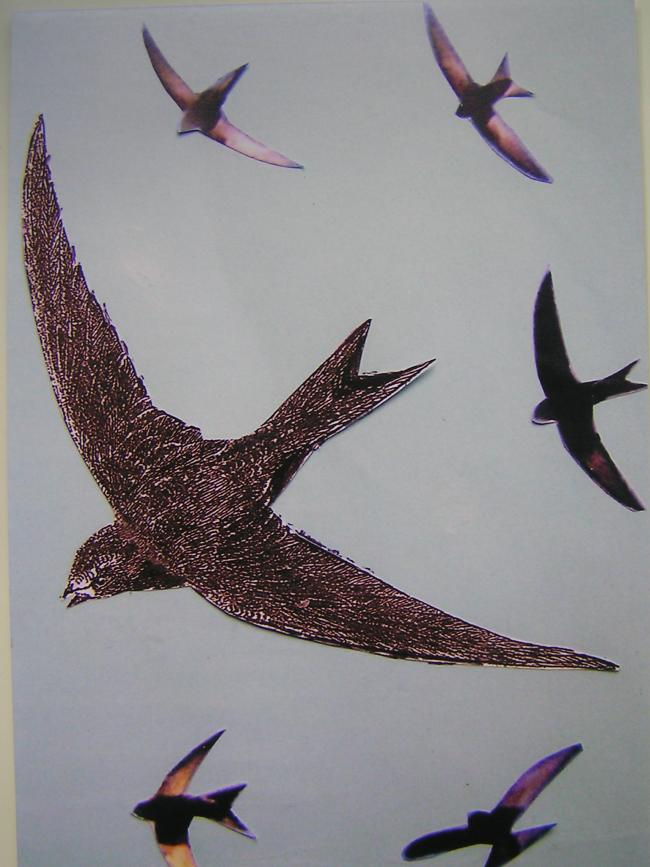 Good news as the first swifts have arrived!