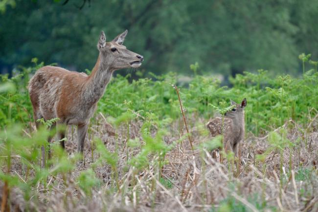 Red and fallow deer have entered the birthing season